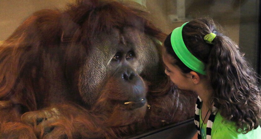 Azy interacts with a young visitor. He is a 250-pound, 36-year-old orangutan and the dominant male in the group of eight orangutans in the Simon Skjodt International Orangutan Center at the Indianapolis Zoo, opening on Saturday.