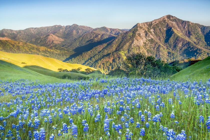 Photo of lupines on the Adler Ranch in Big Sur on the coast of California south of Monterey.