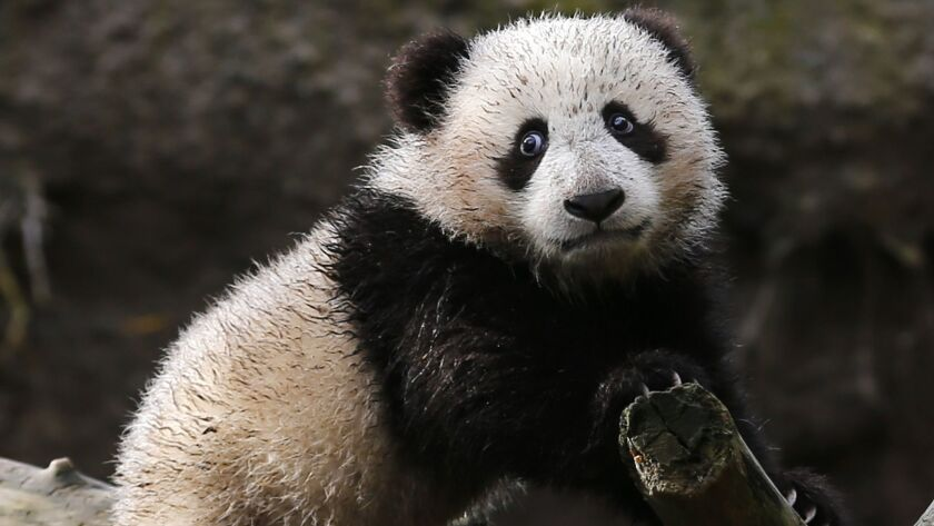 Giant Panda cub Xiao Liwi is shown for the first time on public display after the section of the exhibit frequented by the five-month old bear was opened to the public at the San Diego Zoo