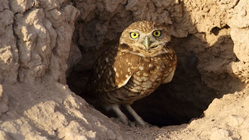 Burrowing owls are at risk of disappearing from the San Diego region in large part due to impact from human development.