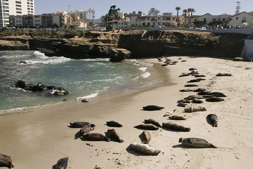 The city of San Diego is preparing to disperse the seal colony at  Children's Pool beach in La Jolla.