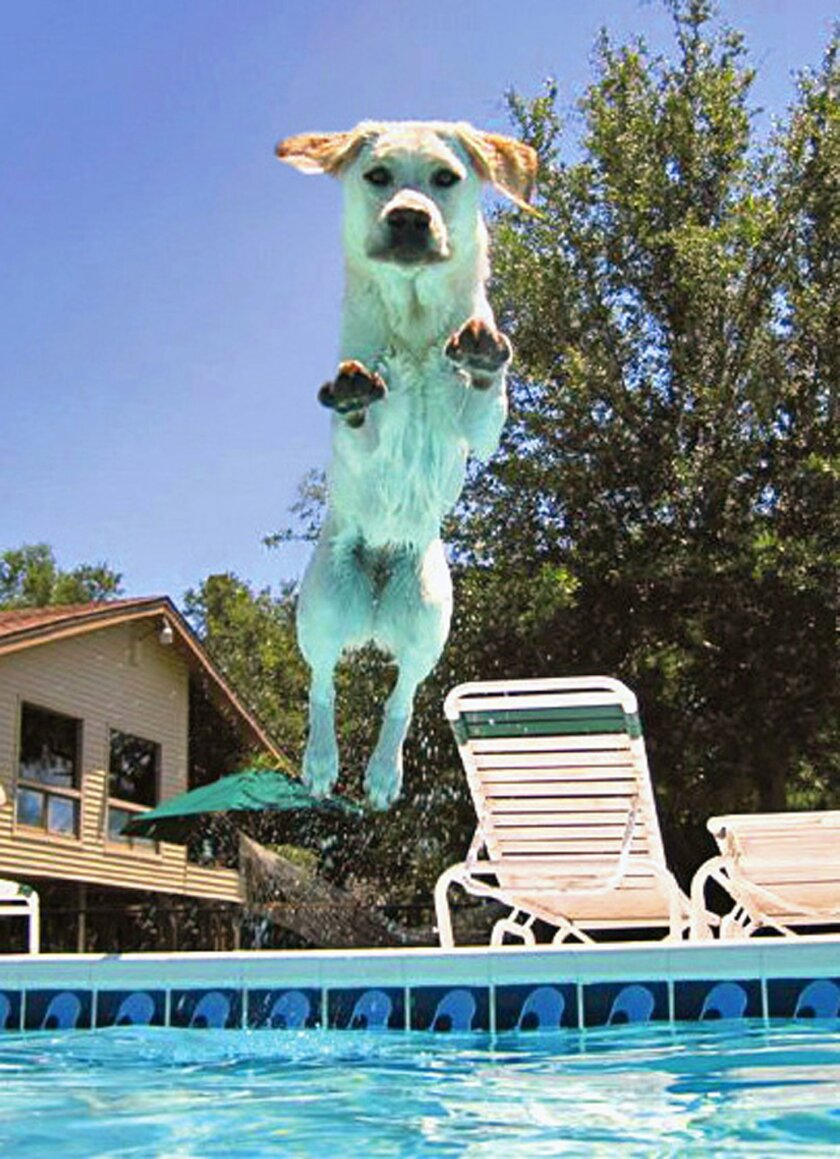 This 2014 photo provided by Judi Dunn shows her Labrador retriever Shayna jumping into the family pool at their home in Holiday, Fla. In keeping with Leap Year the AP took a look at some dog leaps and how pets survived them without major injury. Four dogs survive leaps over a canal, off a balcony,