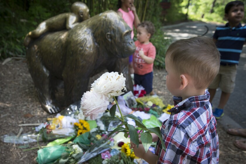 Un niño lleva flores para dejarlas junto a la estatua de un gorila ante el clausurado recinto de gorilas del Zoológico y Jardín Botánico Cincinnati, en Cincinnati, Ohio, EE.UU. (AP Foto/John Minchillo)