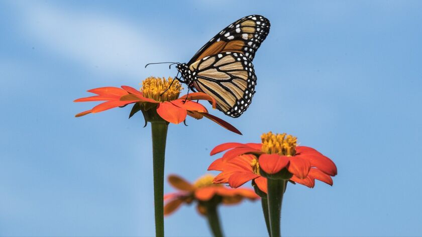 A Monarch butterfly rest on a Mexican sunflower during a hot summer day in Downingtown, Pa. Wednesda