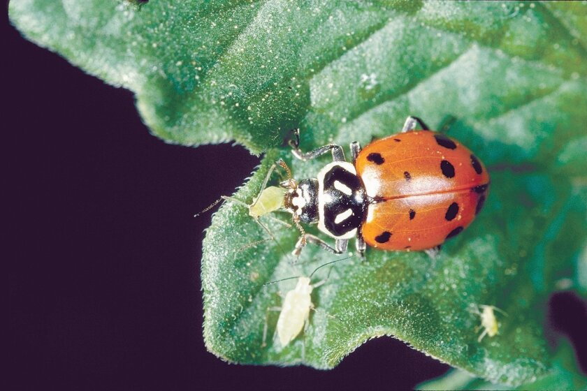 Lady beetles will make a meal out of aphids.