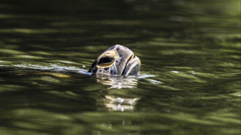 SEAL BEACH, CA, JUNE 29, 2017: A sea turtle pokes his head above water in the San Gabriel River near