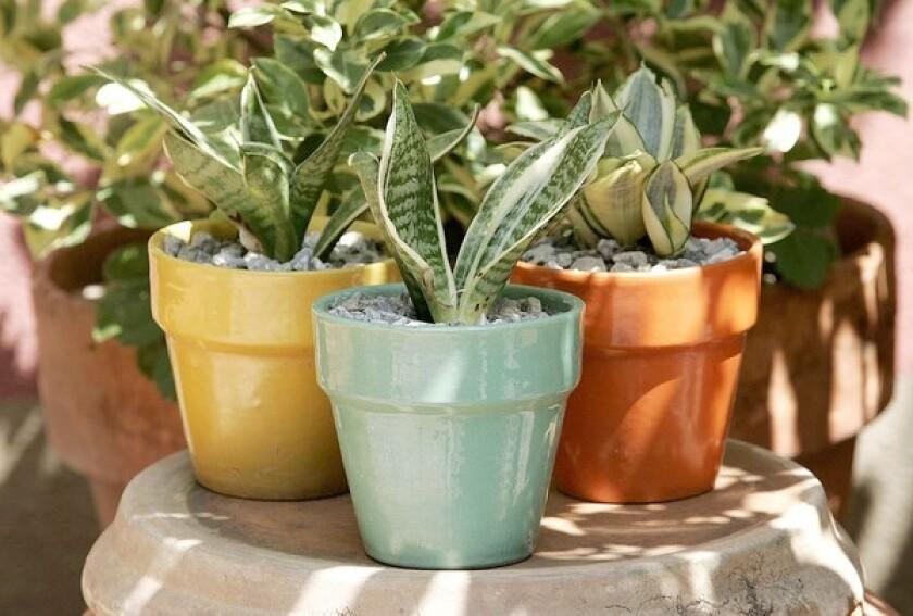 Dwarf sansevieria in vintage pots.