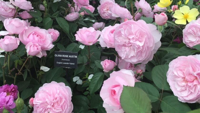 Olivia Rose Austin has beautiful shallowly cupped. soft pink rosette shaped blooms. It is highly rec