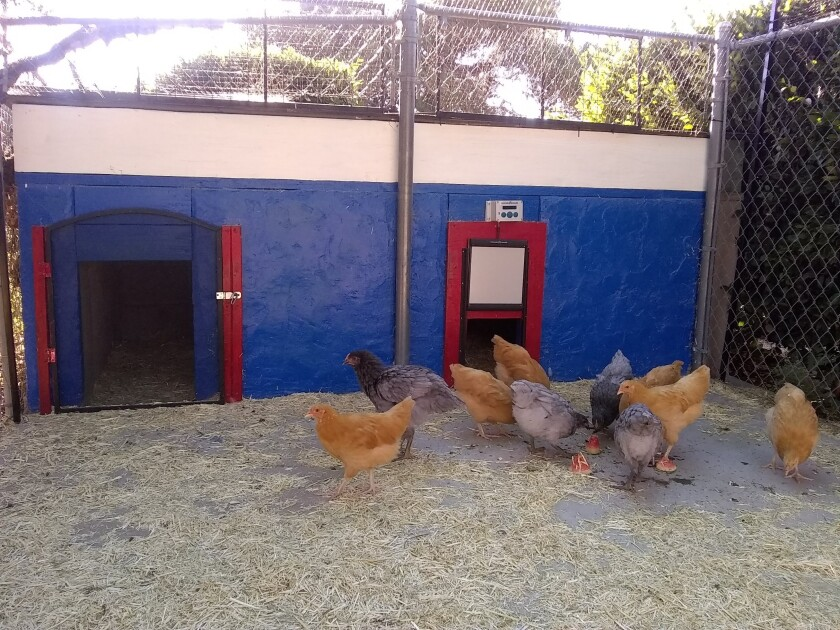 Ta-da! The Campbell family's new chicken crew, digging their newly renovated home.