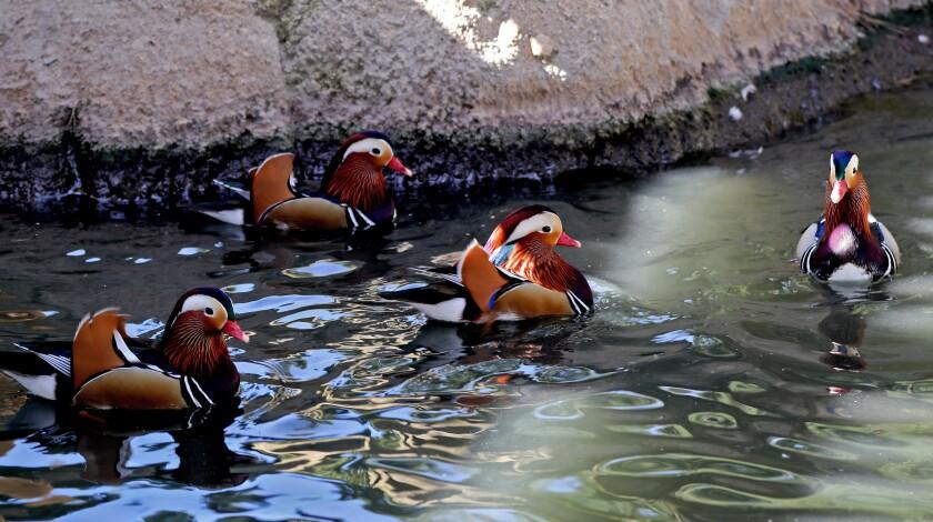Mandarin ducks at TeWinkle Park in Costa Mesa.