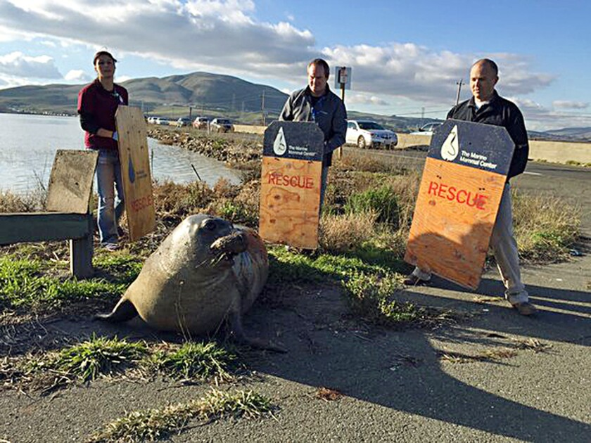 Wildlife experts from the Marine Mammal Center in Sausalito attempt to corral an elephant seal that repeatedly tried to cross a highway, slowing traffic in Sonoma.