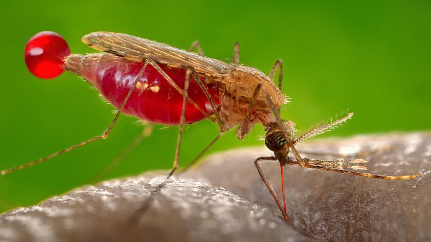 Anopheles gambiae mosquito, a malaria carrier, feeding on its human host. Note the red color of the needle-like labrum, as it fills with blood, and the droplet of blood being expelled.