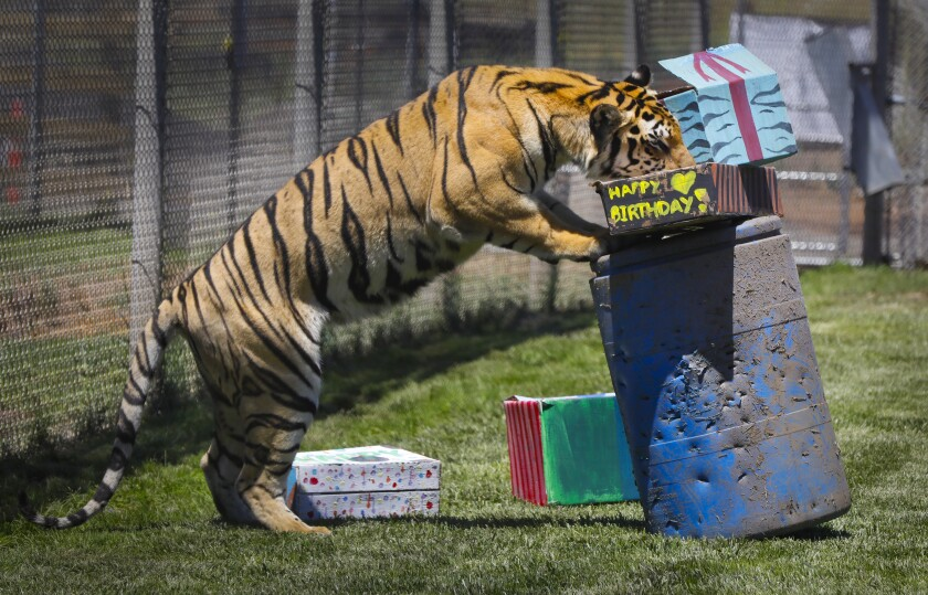 "Moka, a ""generic tiger,"" celebrated his first birthday at Lions Tigers and Bears, the big cat and exotic animal rescue organization, on July 27, 2019, in Alpine by enjoying a birthday party packed with chicken and a few surprises to excite his senses."