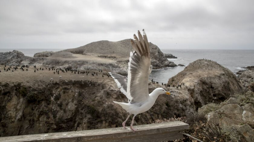A seagull takes flight from the Bird Island Trail at Point Lobos State Natural Reserve on the Big Sur coast along Highway 1.