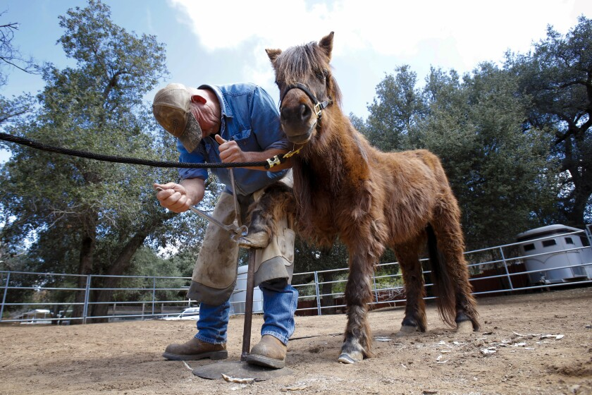 Farrier Danny Stone works on one of the two ponies that the Horses of Tir Na Nog ranch in Guatay has recently received from the San Diego County Department of Animal Services. The ponies were part of a small group of animals that included two ponies, one burro and one cow. All of the animals were taken by county officials earlier this month from an elderly man in Jamul, who was unable to care for them properly.
