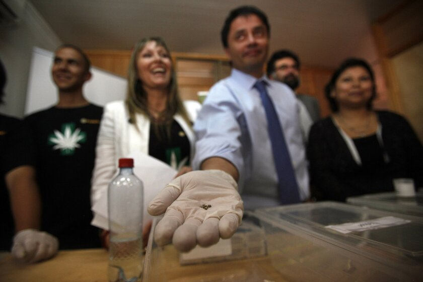 La Florida Mayor Rodolfo Carter holds out a gloved hand to show imported cannabis seeds during a media presentation with members of the Daya Foundation, a nonprofit group that sponsors pain-relieving therapies, in La Florida, a municipality of Santiago, Chile, Wednesday, Oct. 29, 2014. The Chilean