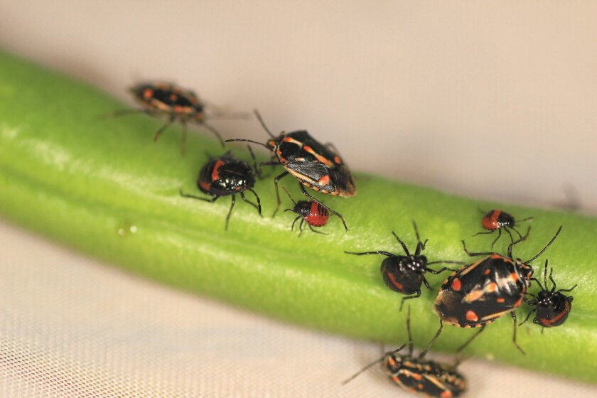 Colorful Bagrada bugs can do damage to cool-season crops.