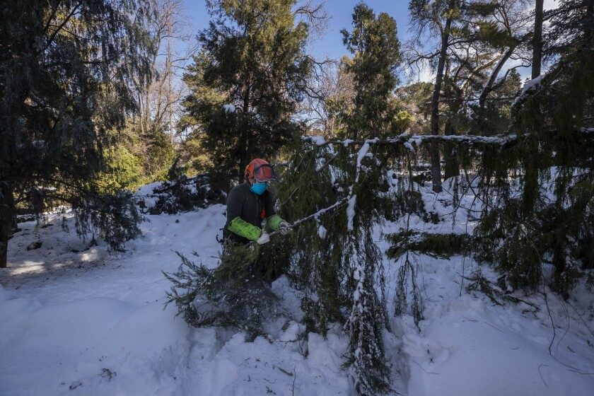 A gardener inspects a damaged tree at the botanical garden in Madrid, Spain, Thursday, Jan. 14, 2021. With piles of ice and snow still covering most streets of Madrid, the Spanish capital has begun grappling with the problem of garbage piled in the streets and thousands of trees and branches littering many sidewalks and squares. Madrid city on Thursday estimated Storm Filomena caused 1.4 billion euros in damages. (AP Photo/Bernat Armangue)
