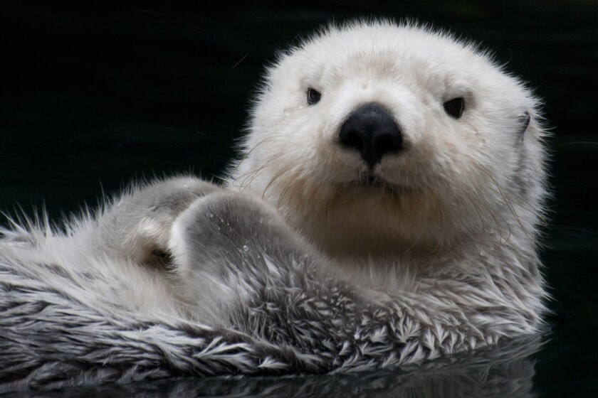 A floating sea otter, paws on chest
