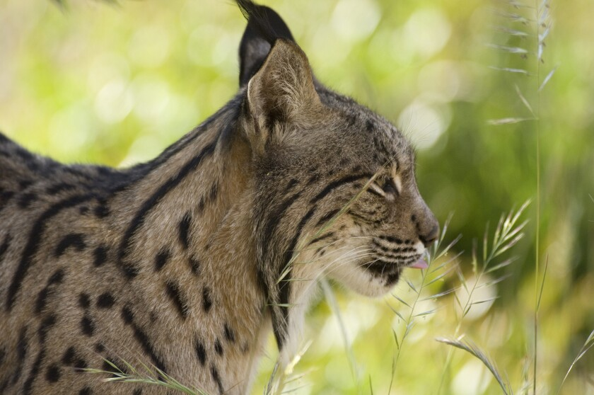The Iberian lynx may fall victim to climate change in as little as 50 years, a new study forecasts.