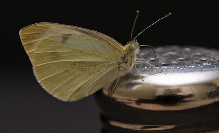 An adult white cabbage butterfly perches atop a salt shaker. De-icing salt used on roads in winter could be affecting the survival rates and muscle development of many butterfly species, according to a new study in PNAS.