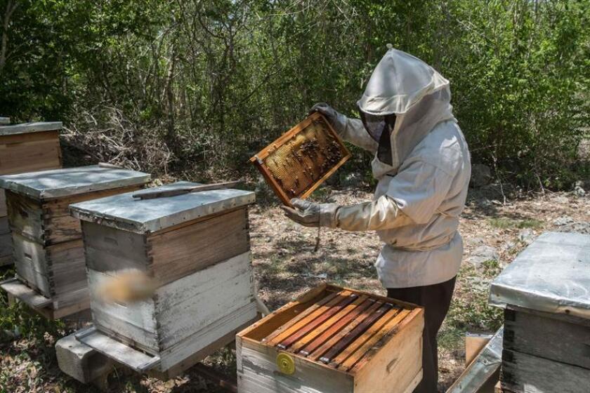 Fotografía de archivo de un apicultor mientras trabaja con una colmena, en Mérida, Yucatán (México). EFE/Archivo