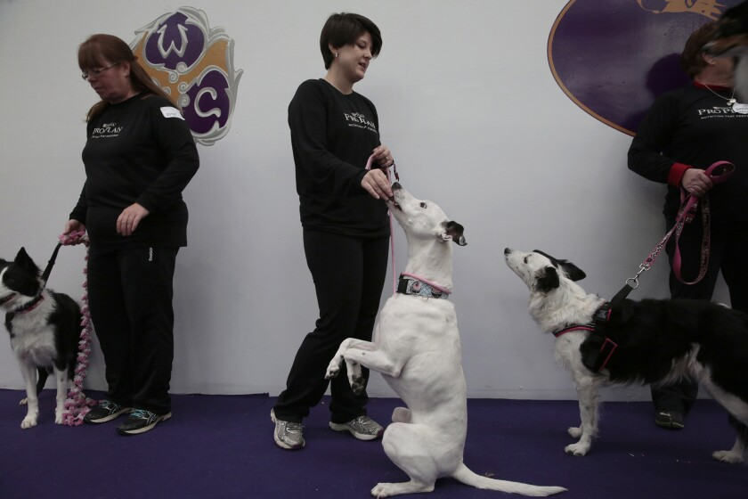 Mutts compete at Westminster