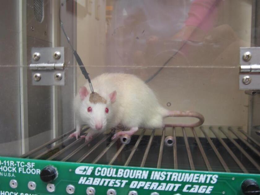 Por primera vez, un equipo de científicos ha identificado un grupo de neuronas en el cerebro de los ratones que pueden ser manipuladas para inducir al animal a subestimar o sobreestimar el paso del tiempo. EFE/ARCHIVO