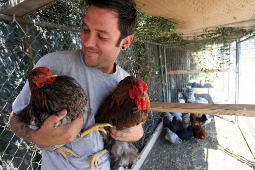 Evan Smith, owner of Escondido Feed and Pet Supply, held blue laced Wyandotte chickens at his store in this file photo.