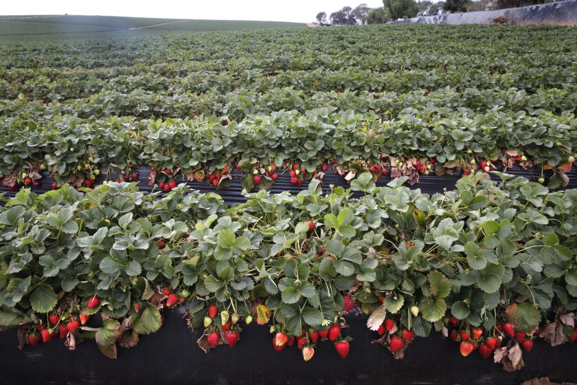 Strawberries ripen in a field that was abandoned by farmworkers in Colonet, Baja California on Thursday. The valuable winter export harvest has been largely shut down by workers striking for higher wages.