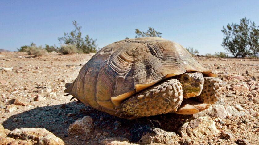 A Mojave desert tortoise