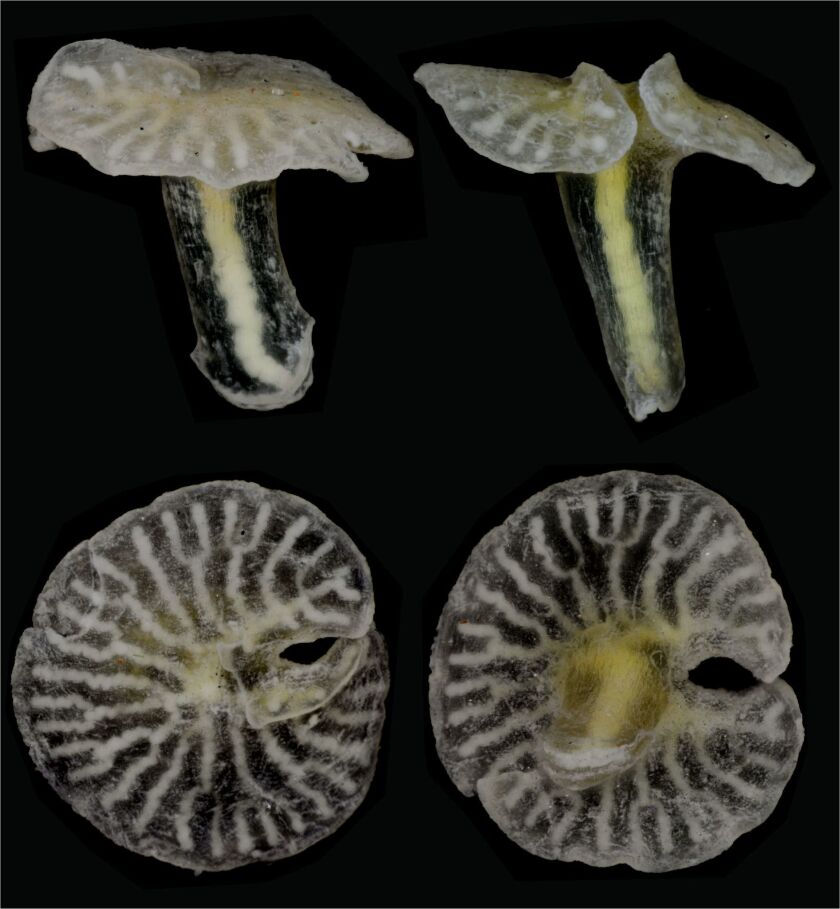 A mushroom-shaped deep sea animal that is new to science.