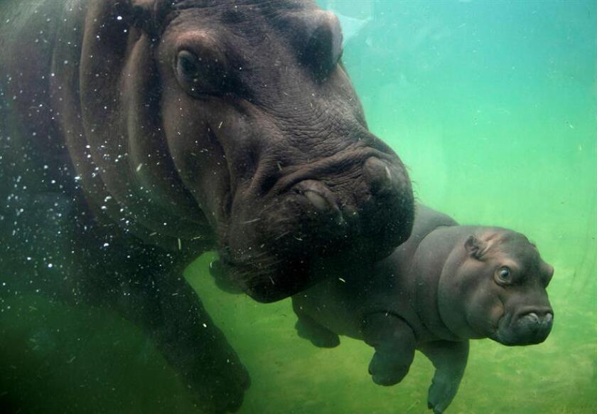Un bebé hipopótamo, de seis meses de vida, acompañado de su madre (Gina), nadan en un estanque en el Zoológico de Guadalajara, Jalisco (México). EFE