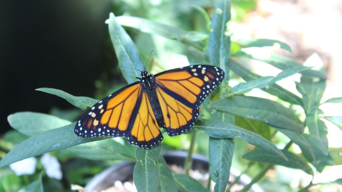 Grow Your Own Monarch Butterfly Habitat The San Diego Union Tribune