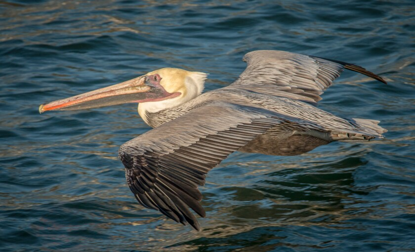 pelican skimming the waves