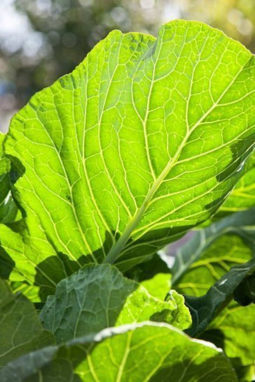 Collard greens, in the L.A. sun, are relatively easy to grow from seed or even cutting.