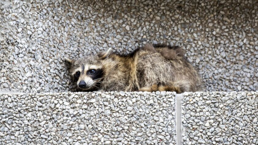 A raccoon sits on a ledge on the Town Square building in downtown St. Paul, Minn., on Tuesday, June