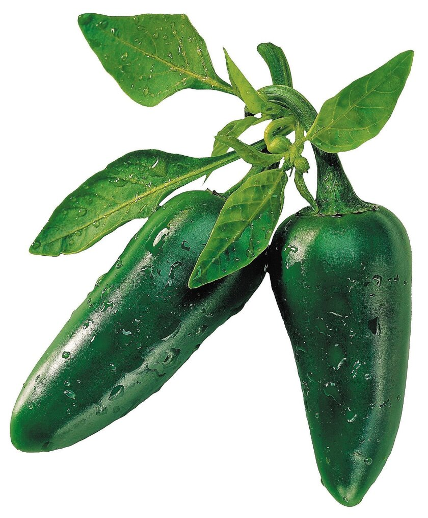 The jalapeño is the most popular chili, only medium-hot by chili standards.