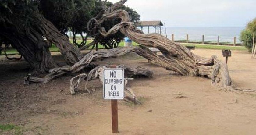 One of two trees with 'No Climbing' signs at Scripps Park. Photo: Courtesy