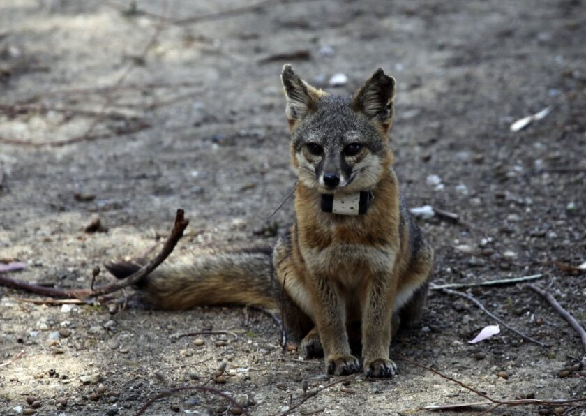 The endangered Santa Catalina Island fox population is nearly fully recovered, 15 years after it was devastated by a distemper epidemic.