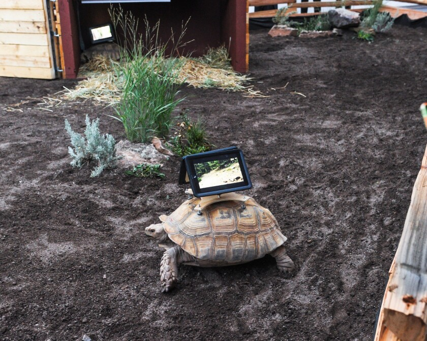 "The ""Moving Ghost Town"" installation at the Aspen Museum of Art in Colorado includes three tortoises with iPads mounted on their shells, which has stirred outcry."