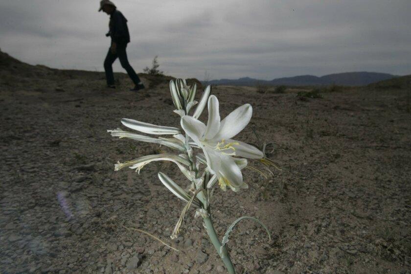 Anza-Borrego's good crop of wildflowers should lure a good crop of tourists. John Gibbins / Union-Tribune photos