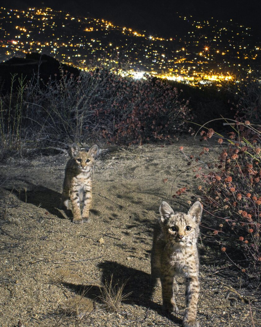 """A photograph featured in """"Wild LA: Explore the Amazing Nature in and Around Los Angeles"""" of Bobcat K"""