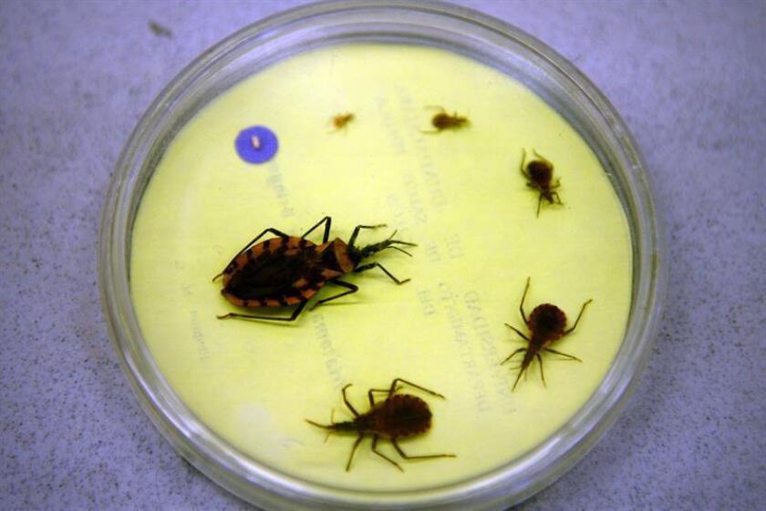 Fotografía cedida hoy, jueves 21 de junio de 2018, por el Consejo Nacional de Ciencia y Tecnología, que muestra insectos portadores del Changas. EFE/CONACYT/SOLO USO EDITORIAL