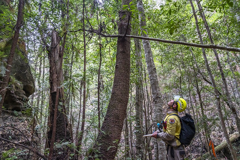 Prehistoric trees in Australia