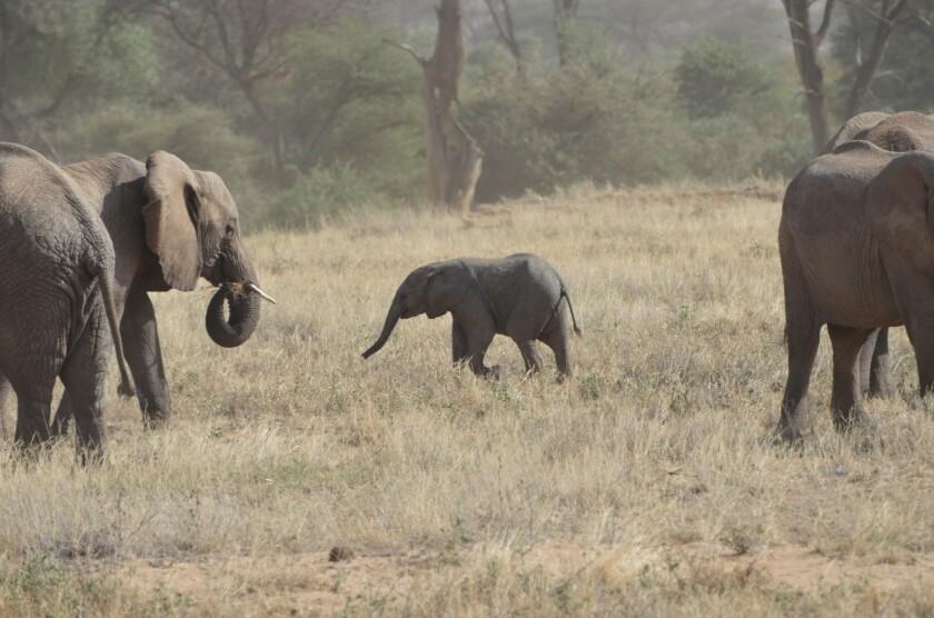 A baby elephant takes a wobbly stroll in Kenya, a safari destination.