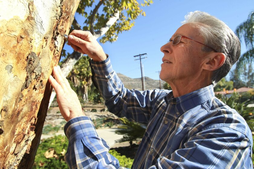 David Fleming uses a pocket knife to dig out a polyphagous shot-hole borer beetle that has infested the California sycamore tree in front of his Dehesa Valley home , east of El Cajon, on Saturday.