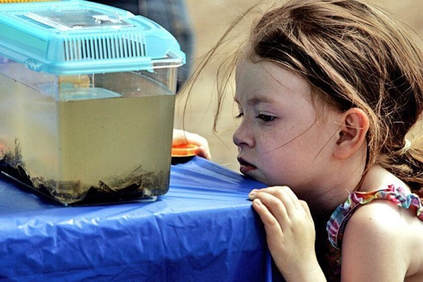 Lexy Montenegro, 4, of Santee peered into a container with San Diego River bugs yesterday. Lexy and her grandmother joined other explorers to learn about the creatures. (Laura Embry / Union-Tribune)