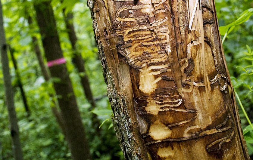 FILE - In this June 22, 2011 file photo are tracks from Emerald Ash Borers left in a black ash tree outside the Riveredge Nature Center in Newburg, Wis. It may be hard to think of January 2014 deep freeze as anything but miserable. But in the realm of nature, there are silver linings: The extreme cold could kill some of the insect pests, like the Emerald Ash Borer, that have ravaged northern forests. (AP Photo/West Bend Daily News, John Ehlke, File)