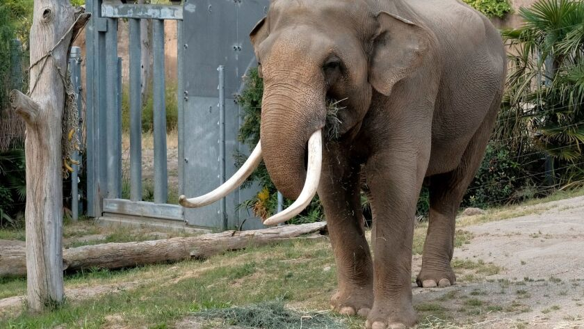 Billy, an Asian elephant, roams in his habitat at the Elephants of Asia exhibit at the Los Angeles Zoo in April.